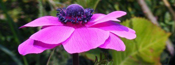 szellőrózsa, anemone -magvetéses szaporitása, a gumósoké is