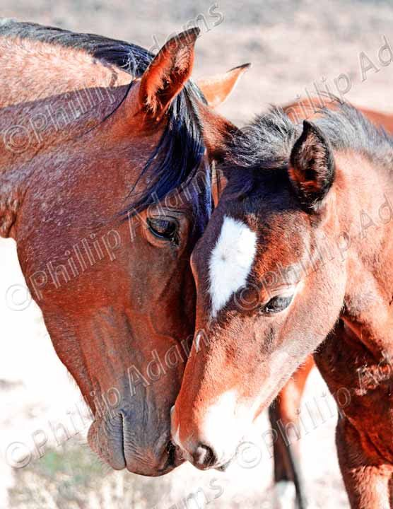 a mothers love 2 mustang mare foal 85 x 11 by nevadawilds nevadawilds