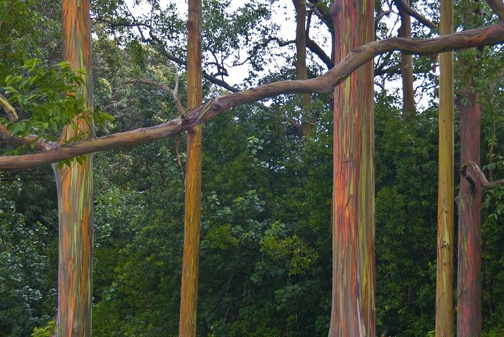 Eu tive dificuldade em acreditar que isso era real, mas essas árvores são os Eucaliptos Arco Íris, localizados no Havaí, EUA. As surpreendentes variações de cores são naturalmente formadas conforme a árvore vai perdendo pedaços de sua casca, à medida que cresce.
