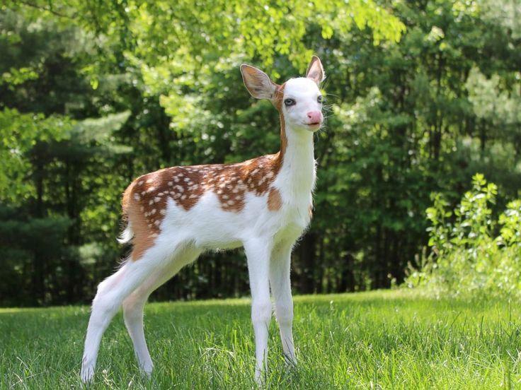 Weißes Kitz der Mutter, die jetzt gedeiht, wird zurückgewiesen – Hirsch, Hirsch, Rentier …..   – Beste Animal Ideen