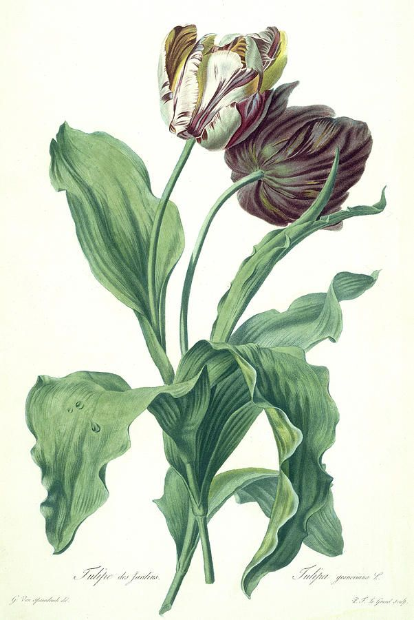 Garden Tulip From Opera Botanica Engraved By Le Grand