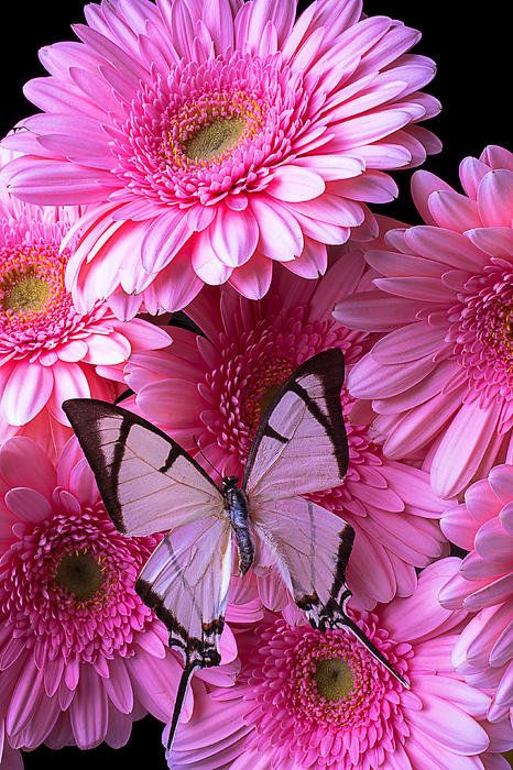 White Butterfly On Pink Gerbera Daisies By Garry Gay