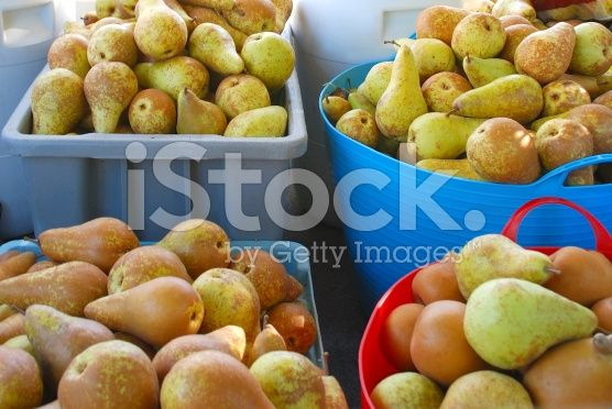 Freshly Picked Pears royalty-free stock photo