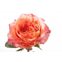 Fresh Premium Pink Peach Garden Roses At Wholesale Prices U2013 Perfect For The  DIY Bride To Create Beautiful Bouquets And Centerpieces.