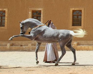 Phaaros - Arabian stallion.