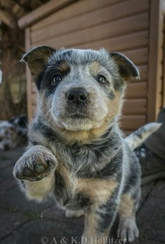 """Little buddy Hope you're doing well.From your friends at phoenix dog in home dog training""""k9katelynn"""" see more about Scottsdale dog training at http://k9katelynn.com! Pinterest with over 20,900 followers! Google plus with over 180,000 views! You tube with over 500 videos and 60,000 views!! LinkedIn over 9,300 associates! Proudly Serving the valley for 11 years! Now on instant gram for only a month with over 1100 followers! K9katelynn"""