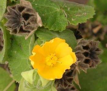 El Abutilón es un arbusto trepador que pertenece a la familia Malváceas, género Abutilon, especie Globosum. Es un arbusto de hoja perenne, muy noble y de