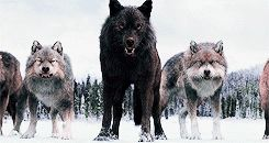 The wolves twilight