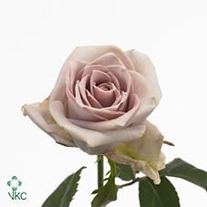 Wholesale Rose Directory - Silverstone Roses | Wholesale Roses