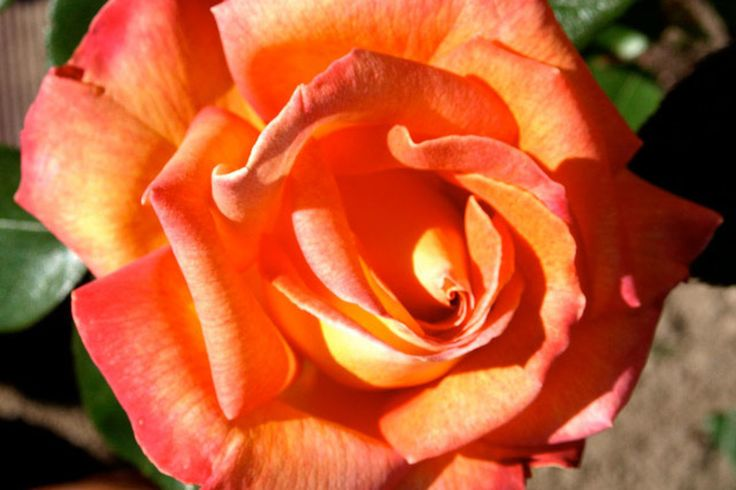 Rose Piccadilli – Catalog rose types and rose varieties