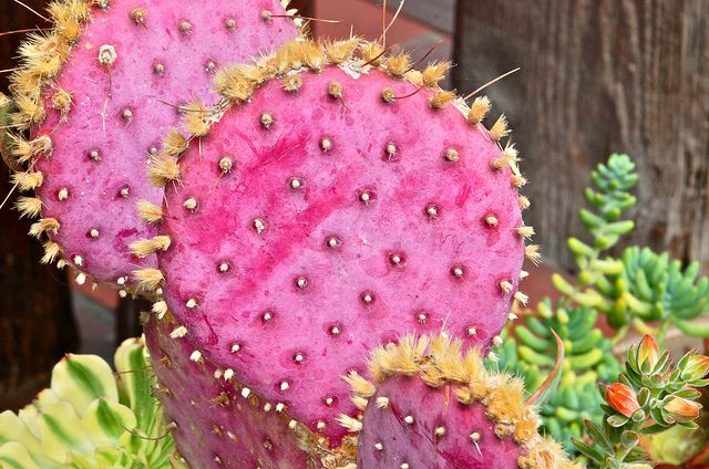Opuntia aciculata ~ Fiesta de Reyes.. Love this Cactus! pink cactus