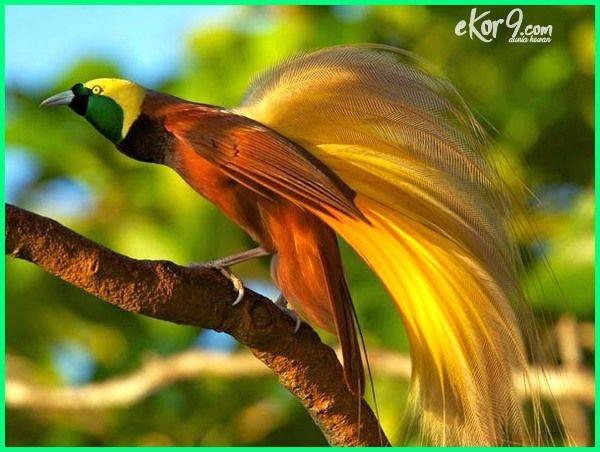 20 Macam Dan Jenis Burung Cendrawasih Cantik Yang Ada Di Indonesia Ekor9 Com Hewan Langka Hewan Burung