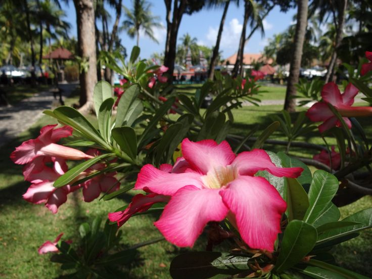 Adenium flower at the main garden