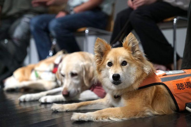 ■「補助犬法施行から今年で15年」しかし理解はまだまだこれから みなさん、10月1日が、目や耳、身体の不自由な人たちをサポートしている補助犬たちにとっても大切な日、「 #ほじょ犬の日 」だというのをご存知でしたか?今から15年前の2002年10月1日に身体障害者補助犬法が施行されました。補助犬とは盲導犬、聴導犬、介助犬たちのことです。 GARDENでも度々補助犬たちの活躍や使用者のみなさんの思い、サポートするNPOのアクションなどを伝えてきましたが、社会を見渡すとまだまだ補助犬に対しての理解が進んでいない現状も実感させられます。 補助犬法では公共施設や、不特定多数の者が利用する施設で、補助犬の同伴を拒んではならないと定められました。 しかし、2015年時点で、補助犬の同伴を拒否されたことのある人の割合は、66.0%にまで上ります(※1) 。取材の中で盲導犬ユーザーの方から「馴染みの店だったのに、他のお客さんからクレームがあって店長からご遠慮願えますかと断られてしまった」経験を聞かせてもらったことがあります。…