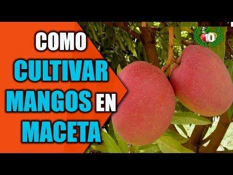 (41) Mira Cómo Puedes Cultivar Mango En Una Maceta Para Tener Siempre En Casa… - YouTube