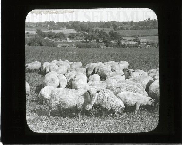 Prize-winning (Shropshire) sheep, Michigan | saskhistoryonline.ca