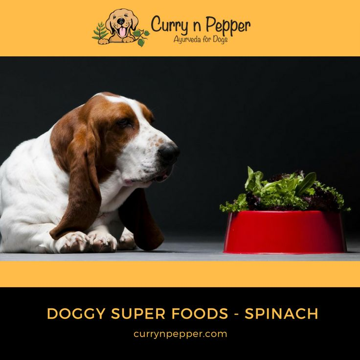 Can dogs eat spinach?  Yes, in small amounts which can provide benefits!  Spinach contains large amounts of vitamins A, B, C, and K. It also contains iron, antioxidants, beta-carotene, and roughage, which stimulate the digestive tract. The best way to prepare it is steamed ad make sure it's chopped up as a dogs digestive track can't break up roughage like a human.    #currynpepper #grooming #petsofinstagram #dogbath #instagood #puppy #animals #dogstagram #ilovemydogs