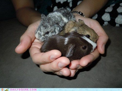 Three little baby guinea pigs. I can't take the cuteness!!!!!!!!
