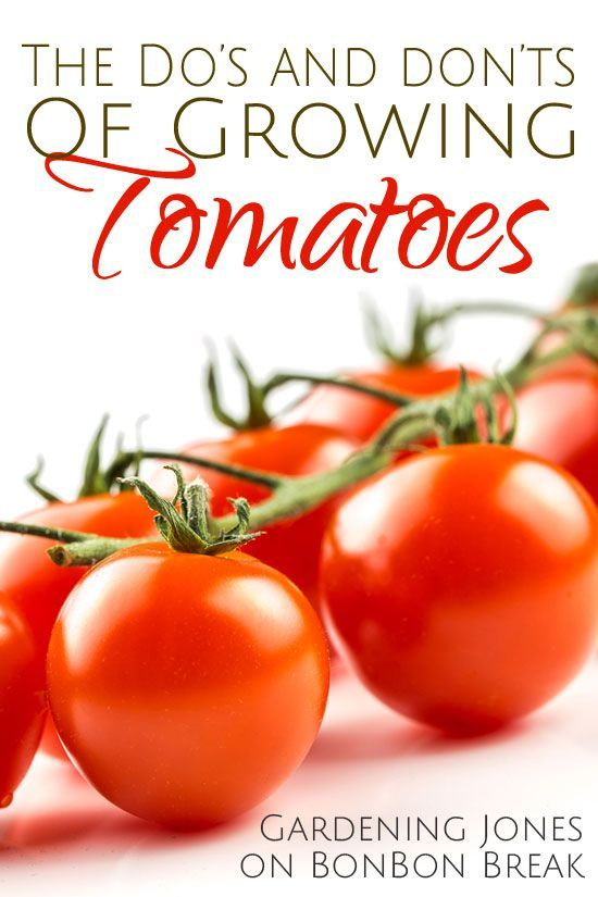 13 Dos and Donts of Growing Tomatoes by Gardening Jones - we love growing tomatoes and I learned a thing or two with these gardening tips!