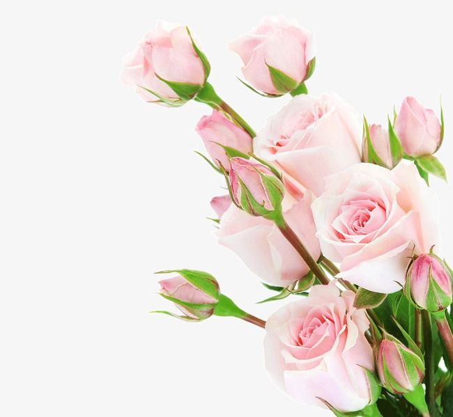 Bouquets Of Roses Pink Roses Flowers Png Transparent Clipart Image And Psd File For Free Download Pink Rose Png Rose Flower Rose