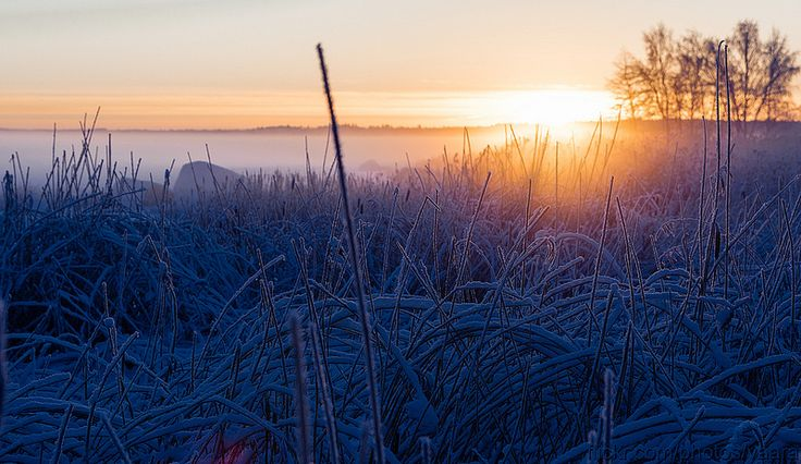 Sunset and frozen reeds