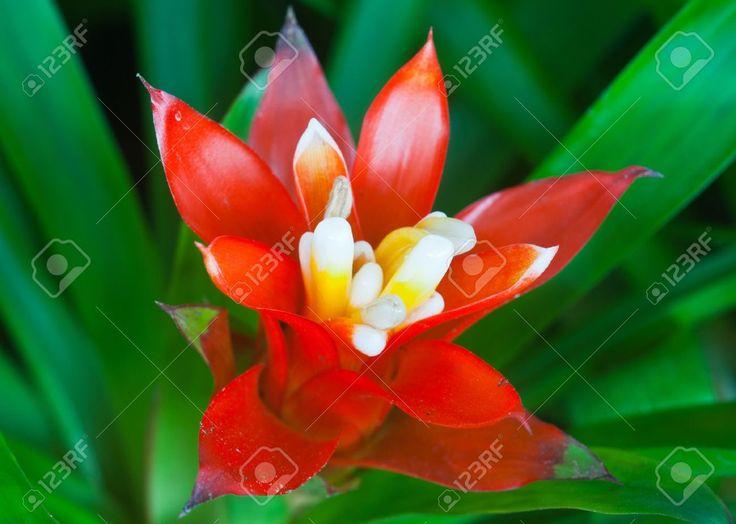 Цветок ананаса