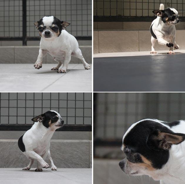 Jual Anjing Chihuahua Betina Import - Iklan Anjing Dijual - AnjingDijual.BIZ (AnDiZ) http://anjingdijual.biz/wmview.php?ArtID=132