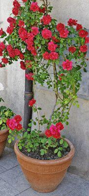 """ROSA: en maceta profunda Sí; sólo si dispones de una maceta amplia y muy profunda, de 50 cm como mínimo, podrás permitirte poner en ella rosas trepadoras tan bonitas como esta """"Sympathie"""". Le gusta el sol, y el riego tiene que ser contenido para que el sustrato no se encharque; ten en cuenta que es una de las favoritas de los hongos. ¡Vigílalos!"""