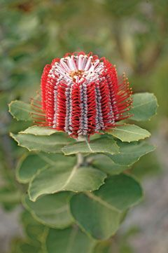 Banksia (170 species in the Banksia genus) is native to Western Australia.