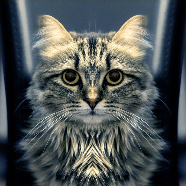 chat touffu, cat, symétrie, symmetry 365 days project, Manuel Martinez  http://ememphotographie.wix.com/photo