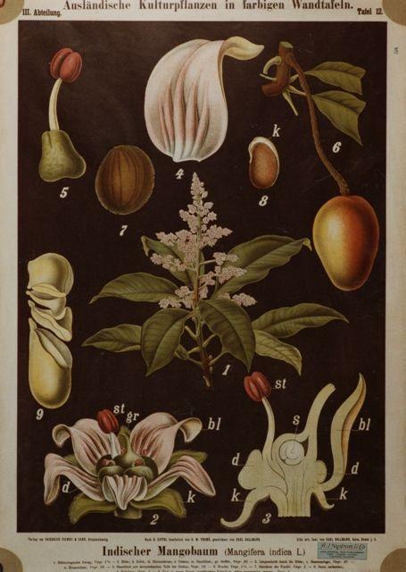 Botanica. Mango.: Indica Mango, Botanica Diagram, Botanical Illustration, Fruit, Botanical Prints, Indischer Mangobaum, Botanical Art, Botanical Goodness