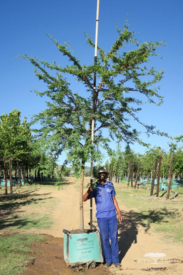 200L - Acacia karroo (Sweet Thorn)