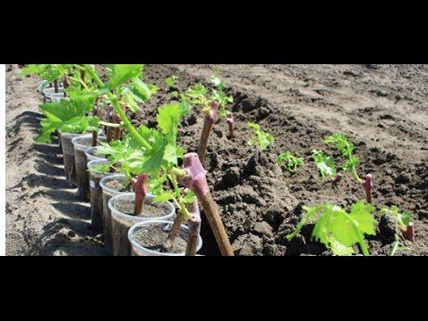 выращивание винограда в московской области: 7 тыс. видео найдено в Яндекс.Видео