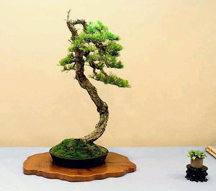 Les 47 meilleures images du tableau pin en bonsai sur for Literati bonsai gallery