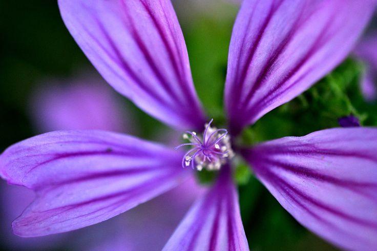 Viola di un fiore, viola incantato. Viola dell'amore viola tormentato.