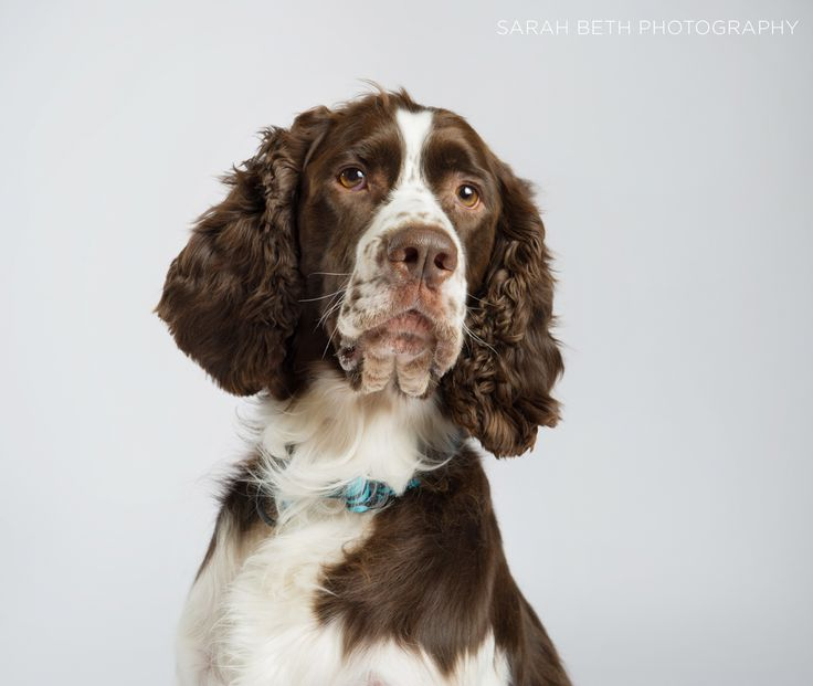English Springer Rescue :: September Feature