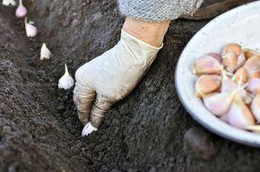 Hloubka by měla být asi 8 cm, vzdálenost stroužků od sebe také asi tak. Řádky by měly být vzdálené asi 25 cm od sebe; yuris, Shutterstock.com