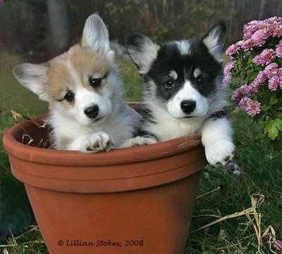 I had no idea you could grow Corgis in a pot! I wonder where you get the seeds?