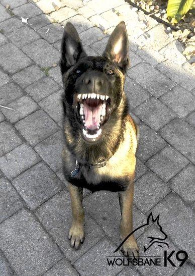 K9 german shepherd teeth