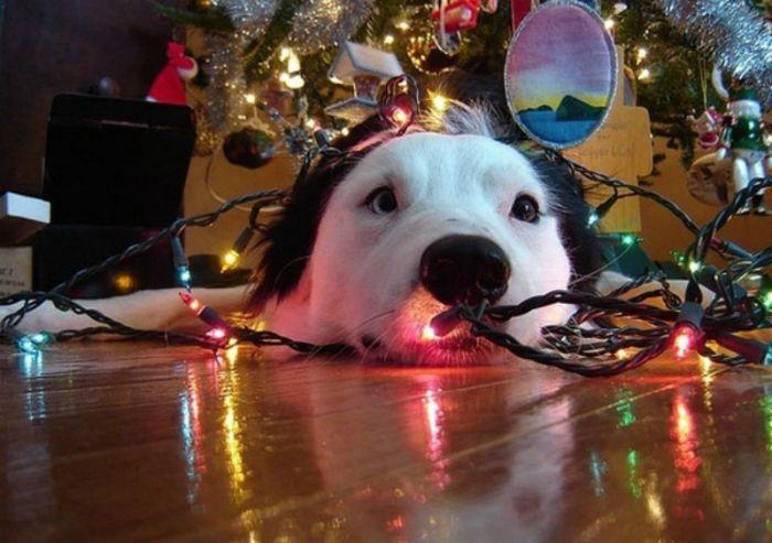 Σκύλος και χριστουγεννιάτικη διακόσμηση...