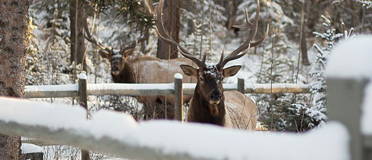 Elk in the back yard - Dec 9, 2013  #canmore #colourinfusion #norja