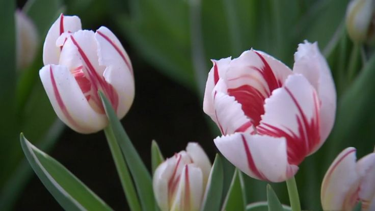 Canada 150 tulips ... the petals look like a Canadian flag