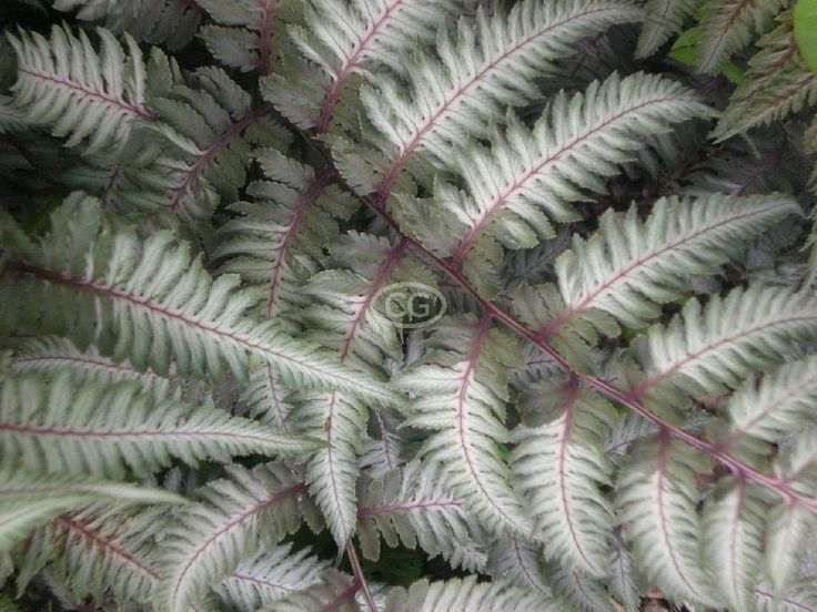 Moon garden - Japanese Painted Fern