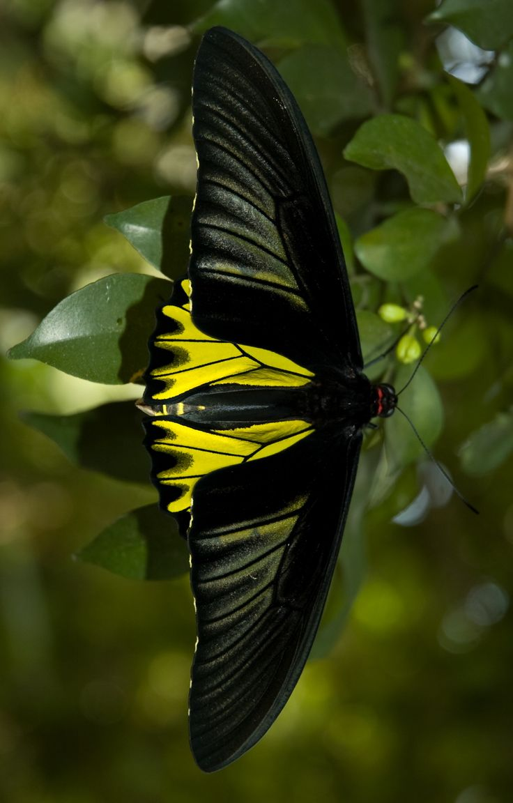 The best images about butterfly on pinterest peacocks