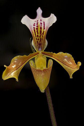 Paphiopedilum gratrixianum - Flickr - Photo Sharing!