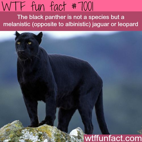 The 25+ best Black panther animal facts ideas on Pinterest ... - photo#15