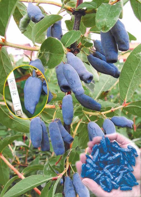 17 best images about honeyberries on pinterest shrubs for Arbre de jardin a croissance rapide