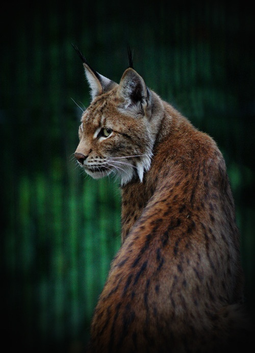 151 best images about LYNX on Pinterest | Canada lynx ...