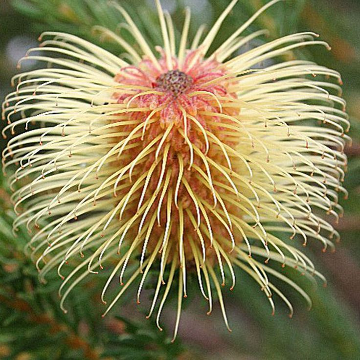 The Teasel Banksia is a small dense shrub that occurs on the south coast of Western Australia from Fitzgerald River National Park east to Israelite Bay.