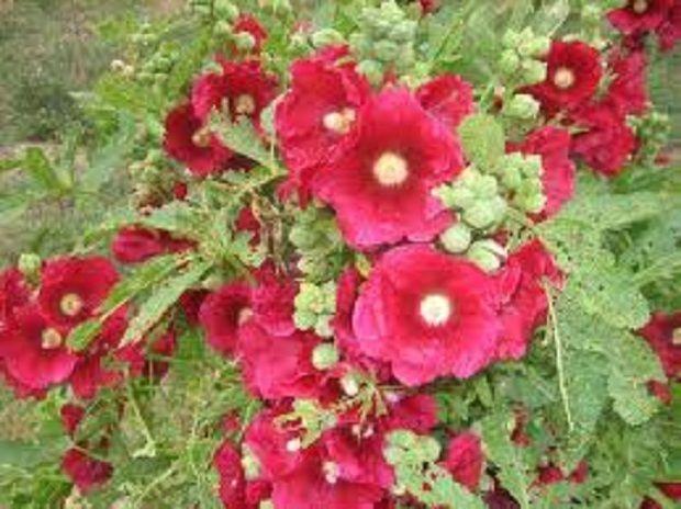 Böbrek İltihabına Hatmi Çiçeği    Halk arasında Gülhatmi olarak da bilinen hatmi çiçeği doğal tedavide sıklıkla kullanılır.    En faydalı kısmı bitkinin kökleridir. Köklerin böbrek iltihabı başta  olmak üzere vücuttaki pek çok iltihabı yok edici özelliği vardır.
